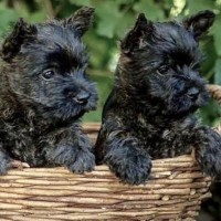 Cairn Terrier breed mini puppies minepuppy
