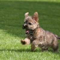 Cairn Terrier breed mini puppy minepuppy