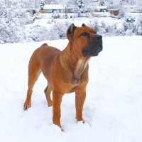 Cane Corso breed dog red minepuppy