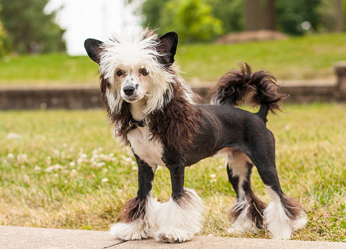 Chinese Crested black mini puppy