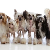 Chinese Crested dogs minepuppy
