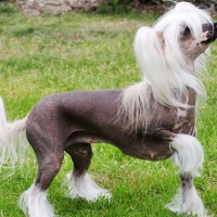 Chinese Crested mini puppy