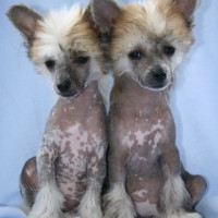 Chinese Crested mini puppies