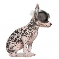 Chinese Crested puppy minepuppy