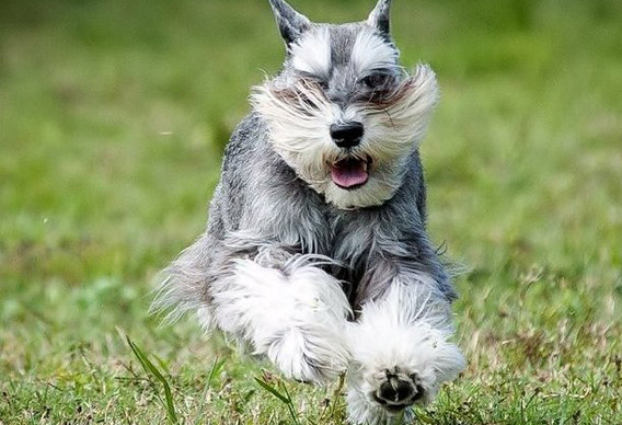Miniature Schnauzer breed dog mini puppy