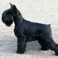 Miniature Schnauzer dog black mini puppy