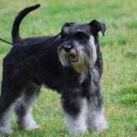 Miniature Schnauzer dog black and silver mini puppy