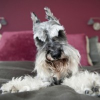 Miniature Schnauzer breed mini puppy