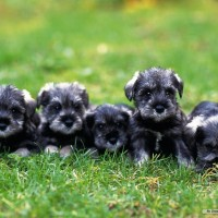 Miniature Schnauzer mini puppies minepuppy