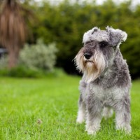 Miniature Schnauzer mini puppy