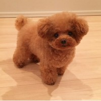 Toy poodle dog mini puppy minepuppy