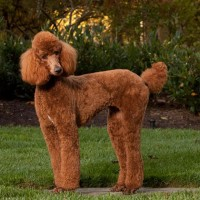 poodle standard breed Apricot minepuppy