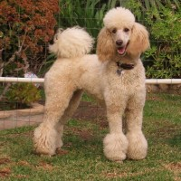 poodle standard breed Fawn minepuppy