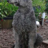 poodle standard breed Gray minepuppy