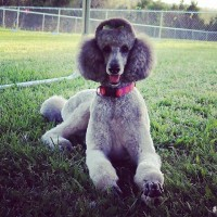 poodle standard breed Silver minepuppy