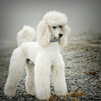 poodle standard breed White minepuppy