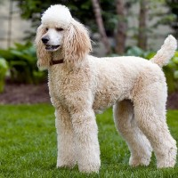 poodle standard breed minepuppy