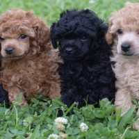 poodle standard breed puppies minepuppy
