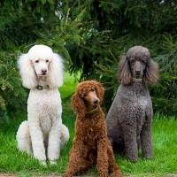poodle standard dogs breed minepuppy