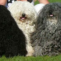 Puli breed dogs coat variation minepuppy