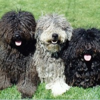 Puli breed dogs minepuppy