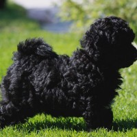 Puli breed puppy minepuppy