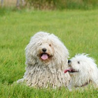 Puli breed white dog minepuppy