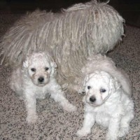 Puli breed white puppies minepuppy