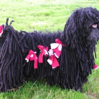 Puli dog  black breed minepuppy