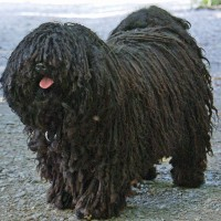 Puli dog minepuppy