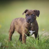 Staffordshire Bull Terrier Brindle breed mini puppy minepuppy
