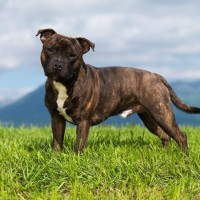 Staffordshire Bull Terrier brindle breed minepuppy