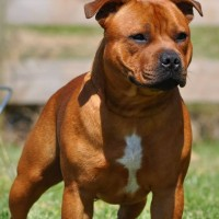 Staffordshire Bull Terrier red breed minepuppy