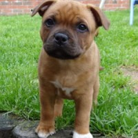 Staffordshire Bull Terrier red breed mini puppy minepuppy