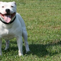 Staffordshire Bull Terrier white breed minepuppy