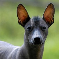 Mexican Hairless Dog breed minepuppy